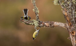 Playing Great Tit birds Royalty Free Stock Images
