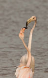 Playing Greater Flamingos Stock Photography