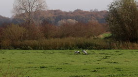 Playing grey herons in IJssel floodplains, Holland Royalty Free Stock Images