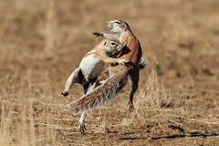 Playing ground squirrels. Two ground squirrels (Xerus inaurus) playing, Kalahari desert, South Africa Royalty Free Stock Photos