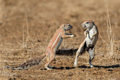 Playing ground squirrels Stock Images