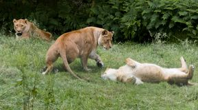 Playing group of African lioness. Natural behaviour of young female African lioness stock photos