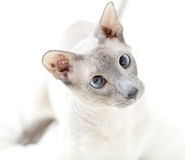 Playing Hairless Cat Royalty Free Stock Images