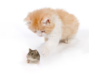 Playing with a hamster Royalty Free Stock Photos