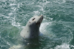 Playing harbor seal Stock Photography