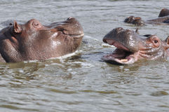 Playing hippopotams Royalty Free Stock Image
