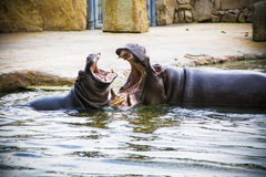Playing hippos. Playing hippos in warm water royalty free stock images