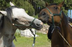 Playing Horses Stock Photography
