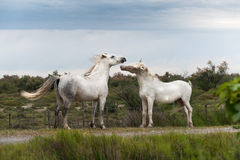 Playing horses. Playing two white Camargue horses Royalty Free Stock Photo