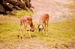 Playing Impalas Royalty Free Stock Photography