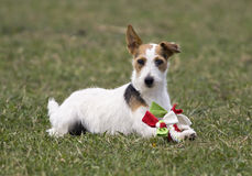 Playing jack russel terrier Royalty Free Stock Photo