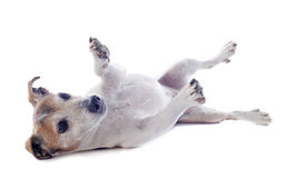 Playing jack russel terrier Stock Image