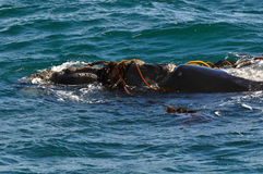 PLAYING with KELP. A southern Right whale playing with kelp Stock Photography
