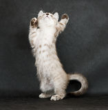 Playing kitten. Stock Photos