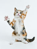Playing kitten. Kitten like to play and want catch his toy royalty free stock photography