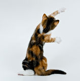 Playing kitten. Kitten like to play and want catch his toy stock image