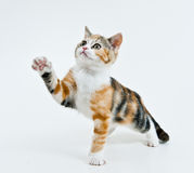 Playing kitten. Kitten like to play and want catch his toy royalty free stock photos
