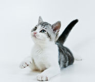 Playing kitten. Royalty Free Stock Photo