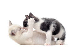 Playing kitten Royalty Free Stock Photo