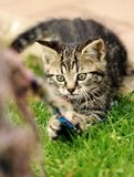Playing kitten Royalty Free Stock Image