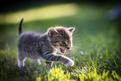 Playing kitten Royalty Free Stock Images