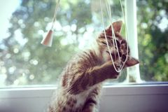 Playing kitten. Nice kitten is playing with lace Stock Photo