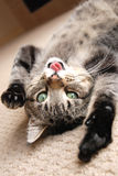 Playing kitten with tongue out Stock Photography