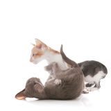 Playing kittens Royalty Free Stock Images