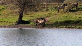 Playing Konik horses, Bisonbaai, Netherlands stock video footage