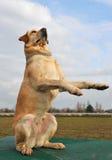 Playing labrador retriever Stock Photography