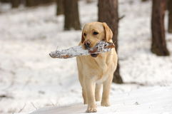Playing labrador in snow Stock Images