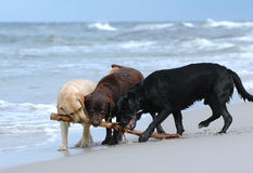 Playing labradors stock images