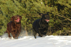 Playing labs. Two labradors playing in snow Royalty Free Stock Photography
