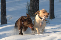 Playing labs. Two labradors playing in snow Royalty Free Stock Photo