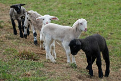 Playing lambs Stock Photos