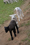 Playing lambs Royalty Free Stock Images