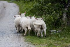 Playing lambs. Some lambs playing by the side of the road Royalty Free Stock Photo