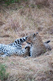 Playing Leopards. Two leopards, mom and baby playing in the grass after feeding in the Masai Mara National Park, Kenya Stock Photos
