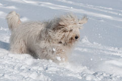 Playing like a puppy. Russian Shepherd in winter. snow and cold - the perfect weather for him Royalty Free Stock Image