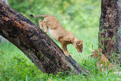 Playing lion cubs. Two lion cubs playing in Hwange National Park Stock Images