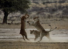 Playing lionesses Royalty Free Stock Photo