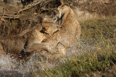 Playing lions. Two African lions playing in the water in Zambia Royalty Free Stock Images
