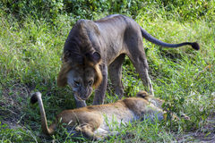 Playing Lions Royalty Free Stock Photo