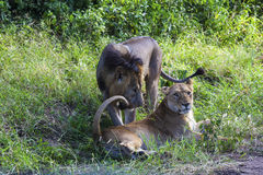 Playing Lions Royalty Free Stock Photos