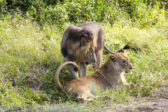 Playing Lions Royalty Free Stock Image
