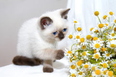 Playing little cat. Little cat playing with chamomile stock photos
