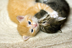 Playing little cats Stock Photography