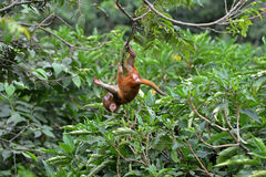 Playing macaque monkey in the jungle Royalty Free Stock Images