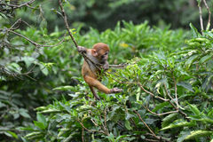 Playing macaque monkey in the jungle Stock Photos