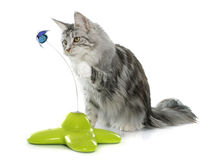 Playing maine coon cat Royalty Free Stock Photos